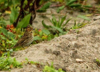 """Little Bunting, Porthloo, 28.09.13, Kris Webb • <a style=""""font-size:0.8em;"""" href=""""http://www.flickr.com/photos/30837261@N07/10016528403/"""" target=""""_blank"""">View on Flickr</a>"""