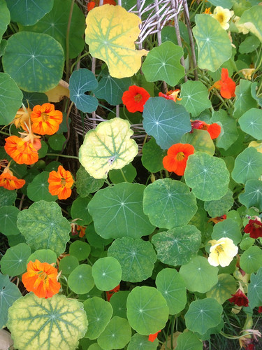 Nasturtiums on wicker support