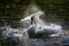 DSC00087 - Mute Swan (steve R J) Tags: water birds swan norfolk explore british splash washing mute splashing illtringham