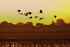 Flying out in the morning (sailingsue) Tags: cranes sandhill