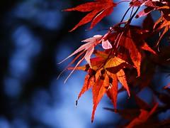 autumn (JoannaRB2009) Tags: autumn light sun fall nature leaves sunshine closeup colours sunny arboretum natura acer redmaple soce jesie wiato przyroda kolory licie rogw zblienie