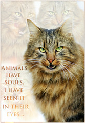 Animals have souls ~ (Heidi H. Alakoski) Tags: portrait pet white inspiration colour cute eye nature beautiful beauty animal animals cat photoshop eyes kitten flickr shot heart bright sony text clear photograph soul modified lovely finnish deeply a230 abigfave sonya230 sony230 ipiccy