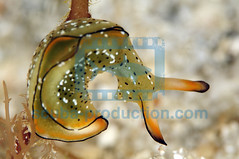 2011-04 HERBLAND MARTINIQUE ORNATE SAPSUCKING SLUG ELYSIA ORNATA 0762