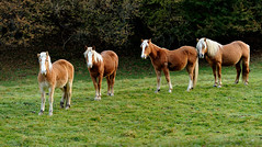 (Eduard Rodoreda) Tags: autumn horse automne caballo herbst otoo catalunya cavall pirineus tardor estacions toran valldaran hispanobretn