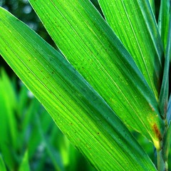 Isn't that bamboo? (vertblu) Tags: teal bamboo bluegreen bambooleaves richgreen