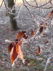 Agujas de escarcha y hojas. (margabel2010) Tags: espaa hojas spain otoo invierno hielo agujas escarcha ramas parques
