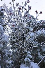 fruits frais (Carl Vignola) Tags: winter snow nature fruits canon hiver arbre fruittree 6d motoneige 2470 canon6d motoniege