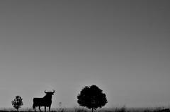 Bull shadow (javituero) Tags: trees landscape animales 1755 finegold árboles flickraward afsdxzoomnikkor1755mmf28gifed d7000 nikonflickraward flickaward nikond7000 mygearandme fineplatinum finediamond {vision}:{mountain}=0882 {vision}:{clouds}=099 {vision}:{ocean}=0785 {vision}:{sky}=0984 {vision}:{outdoor}=0979 {vision}:{snow}=0697