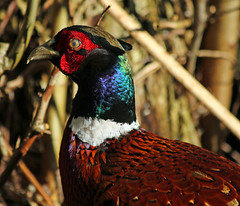 take me to your leader... (explored) (Dawn Porter) Tags: pheasant somerset