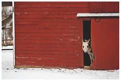 New Paltz 012614 461 Curious donkey, Butterville Road farm (danny wild) Tags: new winter snow ny newyork nature barn hiking farm np gunks shawangunks newpaltz paltz mohonk hudsonvalley newpaltz012614
