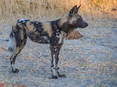 African Wild Dog on alert (reweaver33) Tags: africa animals botswana mammals africanwilddog lagooncamp