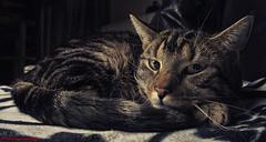 Chillermodus AN (Maximkaa) Tags: animal cat sweet tiger decke katze sues schlafen fell kater chillen tier gestreift süs