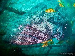 (Akhil Jude) Tags: blue india water under scuba pondicherry grouper