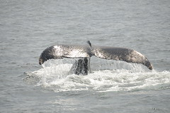 Cape Cod Whale (geoff-pics) Tags: capecod whale