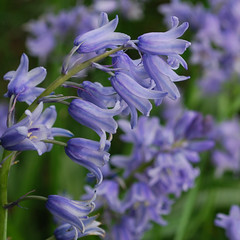 """Timeless Bluebells • <a style=""""font-size:0.8em;"""" href=""""http://www.flickr.com/photos/117692149@N03/12579497073/"""" target=""""_blank"""">View on Flickr</a>"""