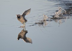 And the chase is on (billkominsky ) Tags: avianexcellence