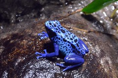 Blue Poison Dart Frog (presbi) Tags: frog rana mygearandme mygearandmepremium mygearandmebronze mygearandmesilver mygearandmegold mygearandmeplatinum mygearandmediamond photographyforrecreationeliteclub centroamericafrog ranacentroamerica infinitexposure