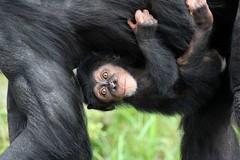 01-03-2014-taronga 286 (tdierikx) Tags: chimpanzee taronga tarongazoo fumo 01032014taronga tdierikx