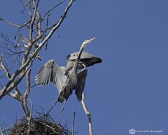 Time for a Break (raineys) Tags: california bird nature wildlife greatblueheron rookery specanimal avianexcellence