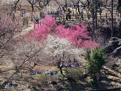 Plum trees are in full bloom Ome, Tokyo Japan 2014 (lookworld) Tags: japan cherry spring plum fourseasons  cherryblossom  viewing cherrytree    plumtrees
