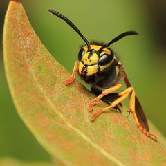 Wasp (dmelchordiaz) Tags: macro verde green hoja yellow canon insect leaf wasp amarillo micro insecto avispa dmelchordiaz
