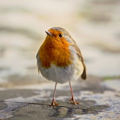 Robin Of Heligan - Mevagissey, Cornwall. (johnlunt) Tags: camera uk portrait england west colour cute bird nature robin gardens closeup digital canon john square lens eos is photo solitude cornwall lo