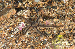 LochFyne-201403-GreyIsland-Echinoderm3-Brittlestars-OphiocominaNigra (Tony J Gilbert) Tags: scotland marine underwater diving scubadiving lochfyne kintyre underwaterphotography westernscotland 60mmlens photographyweekend nikond300 greyisle wwwfynepioneercouk