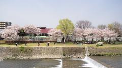 Along the River (maida0922) Tags: street trees sky people water japan river walking cherry flow town spring kyoto stream picnic riverside hiking blossoms willow kamo kamogawa  16x9 em1 mzuiko1240mmf28pro