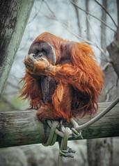 Untitled_Panorama1-2 (SwiftTheFox) Tags: panorama animals canon memphis tennessee wildlife panoramic 300mm orangutan ape photomerge apes memphiszoo orangutans 300mmf4 300mmf4l canonef300mmf4lusm canon5dmkii 5dmarkii 5dmkii 5dmk2 canon5dmarkii