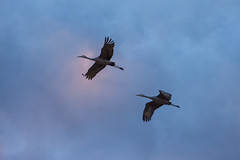 Flying pair of sandhill cranes (sniggie) Tags: sandhillcrane birding flight bird birds hardincounty gruscanadensis kentucky wintermigration birdwatching