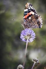 IMG_1909_red2 (Eivind Nielsen) Tags: admiral vanessa atalanta butterfly sommerfugl macro nature flower summer