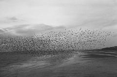 (eaalexander) Tags: canonae1 ilfordhp5 hp5 blackpool analog film darkroom handprinted fibrepaper murmuration england winterwatch autumnwatch starlings birds