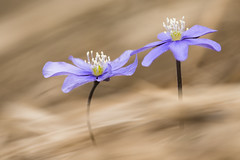 Liverwort (Hepatica nobilis) (HerpetoMagge) Tags: purple flower anemone hepatica nobilis grass colour nature wild wildlife plant spring italy background soft