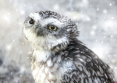 Shivering (10000 wishes) Tags: owl wildlifephotography portrait snowflakes bird snow cold
