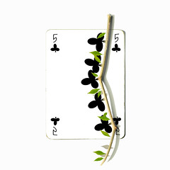 five of clubs (brescia, italy) (bloodybee) Tags: 365project playingcards cards play game 5 five clubs branch leaves vegetal nature stilllife white black green square humor fun