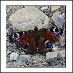 Peacock Butterfly (prendergasttony) Tags: rock pebble butterfly eyes colourful bright nature wings nikon d7200 outdoors wild wildlife peacock prague elements outside praha stones europe april