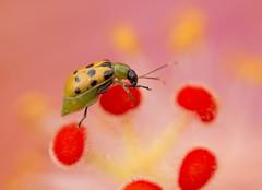 Color Warp (creyesk) Tags: beetle ladybug flowers colorful beatiful orange green pink red macro