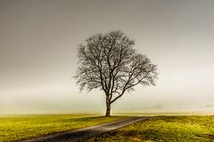 Blood through my veins (marco soraperra) Tags: tree fog foggy winter grass green brown grey nikon nikkor nature moody single morning light shadow
