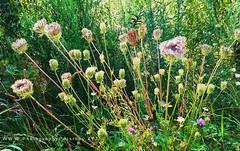 370. RUSTIC: Bush Bouquet (www.YouTube.com/PhotographyPassions) Tags: bush pastoral rustic nature natural bouquet plants flora wildflowers green shrubs flowers trees bushes weeds mlpphflora mlpphlandscape landscape nzbush rural