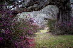 The Dreamer (karenhunnicutt) Tags: magnoliaplantation liveoaks azeleas spring frost charleston soutcarolina history gardens karenhunnicuttphotographycom karenhunnicutt fineartphotographer
