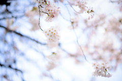Daydream Bloom (H.H. Mahal Alysheba) Tags: sakura cherryblossom bokeh dof sky highkey japan nikon d800 afs nikkor 105mmf14