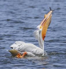 American White Pelican (Jan Crites) Tags: iowa soloniowa lakemcbride lakemcbridestatepark spring april lake birds waterfowl migration jancritesphotography nikon nature wildlife pelican americanwhitepelican