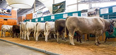 2017 Sydney Royal Easter Show  (37/42) (geemuses) Tags: 2017sydneyroyaleastershow olympicpark homebush sydneyshowgrounds cattle cows bulls people punks tattoos chickens chooks animals nature entertainment competition display view streetphoto streetphotography girl