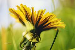 Spring in Ukraine (artemgetman) Tags: getmanartem весна ukraine украина макро macro spring путешествия travel dandelion одуванчик blowball