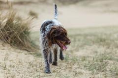 2017-04-12 à 16-10-50.jpg (martinmichiels) Tags: dog sand drathaar canon 5d mkii mark2 mk2 ef85mmf18 belgium northsea oostduinkerke