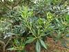 Psyllid injury to Japanese pittosporum (Pittosporum tobira) (Scot Nelson) Tags: cacopsylla tobirae psyllid injury japanesepittosporum pittosporum pittosporumtobira leaf