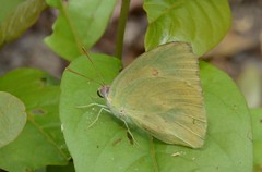 Pieridae - Eurema? (robertoguerra10) Tags: pieridae eurema yellow butterfly borboleta lepidoptera natureza nature wild selvagem