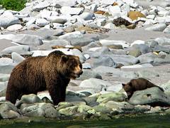 brown bear + cubs on the shoreline at cape kambal'nyy, kamchatka 7 (Russell Scott Images) Tags: cape mys kambal'nyy kamchatkapeninsula russianfareast russia kamchatkabrownbearursusarctossspberingianus cub