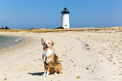 Laika at Edgartown Lighthouse | Martha's Vineyard, USA (ynaka29) Tags: massachusetts laika edgartown lighthouse beach edgartownlighthouse marthasvinyard usa dog aussie toyaussie australianshepherd toyaustralianshepherd redmerle
