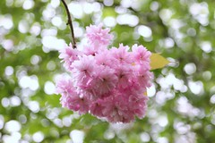 Spring bokeh (ekaterina alexander) Tags: spring bokeh cherry blossom prunus tree flowers pink trees ekaterina england alexander sussex nature photography pictures green
